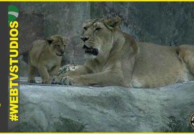 Al Bioparco di Roma sono nati due leoni asiatici