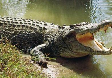 Sardegna: Coccodrillo scompare da un circo