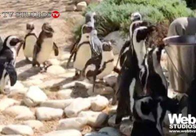Nascite al Bioparco di Roma Una cammellina, tre suricati e due pinguini del Capo